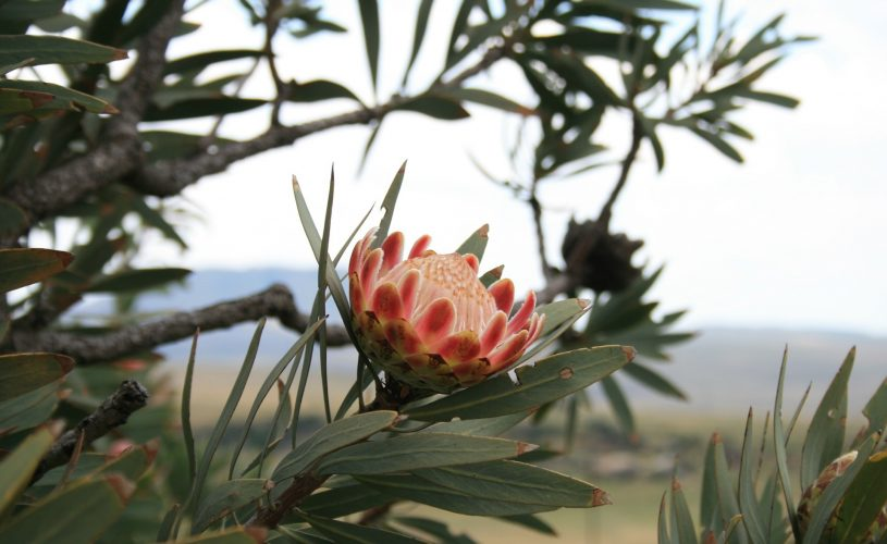 Kalaeidescopic Kingdom: The Cape's Fynbos