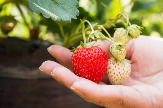 Go strawberry picking at Mooiberge farm stall in Stellenbosch